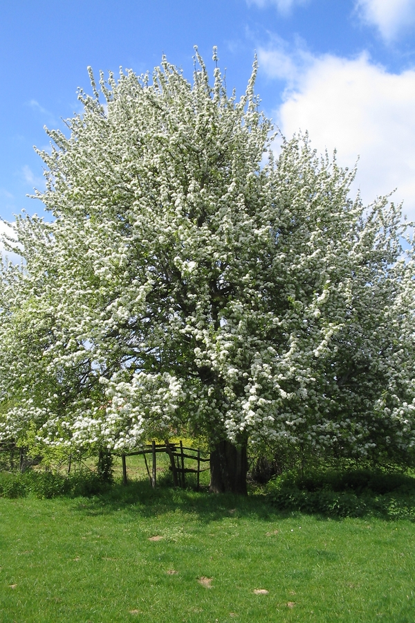 grand arbre fruitier en fleurs