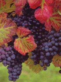 grappes de raisins rouges et feuilles de vignes aux couleurs d'automne